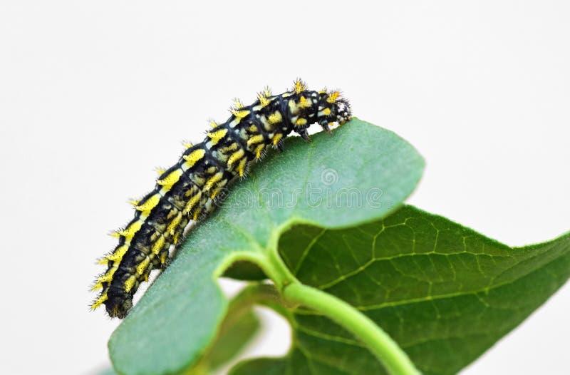 The larvae of Allancastria louristana royalty free stock photos