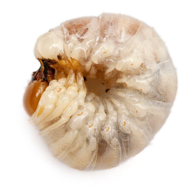 Download Larvae of Beetle stock photo. Image of larvae, themes - 26423838