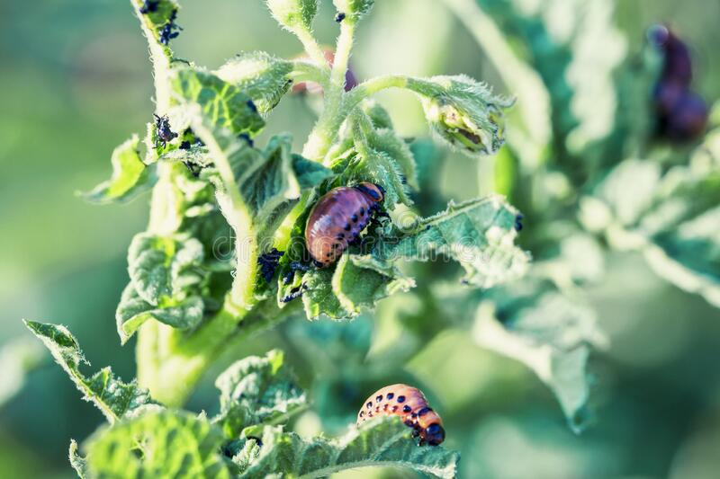 The larvae of Colorado beetle on potato leaves, the ten-striped spearman, the ten-lined potato beetle or the potato bug, is a. Major pest of potato crops royalty free stock images