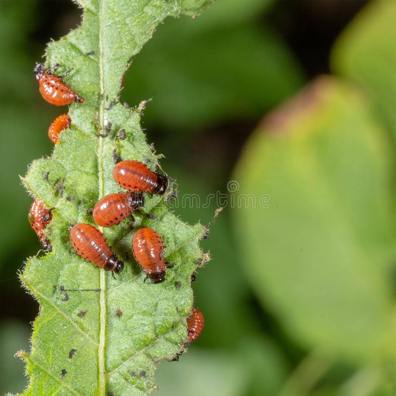 The larvae of the Colorado potato beetle devouring a potato. Leaf stock photography