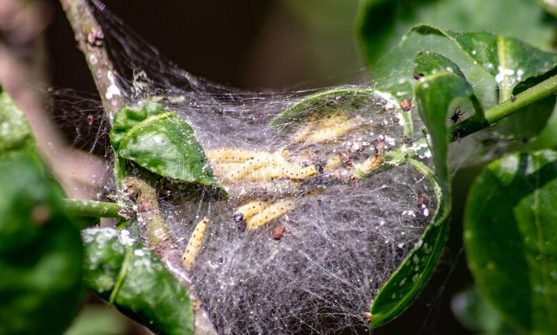 Larvae of moths protected by a spider web they produce, are voracious and considered parasites if in large numbers they can dest. Larvae of moths protected by a royalty free stock image