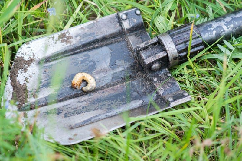 Larvale Form der Melolonthawanze auf einer Schaufel unter Gras lizenzfreies stockbild