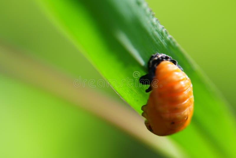 Larvas amarillas en la hoja foto de archivo