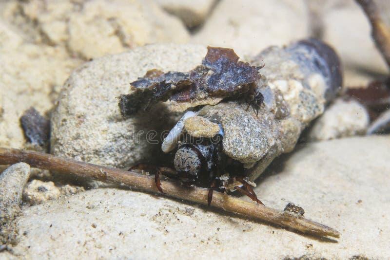 Larvas de Caddisflie subacuáticas en el hogar construido Trichoptera Caddisfly fotografía de archivo
