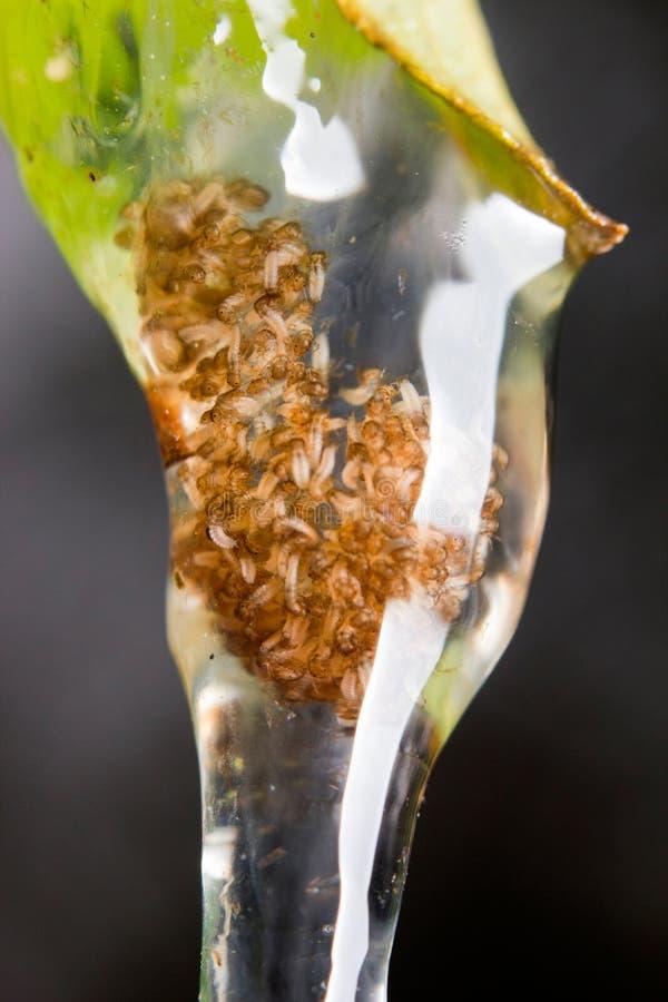 Larvas de los Caddisflies imagenes de archivo