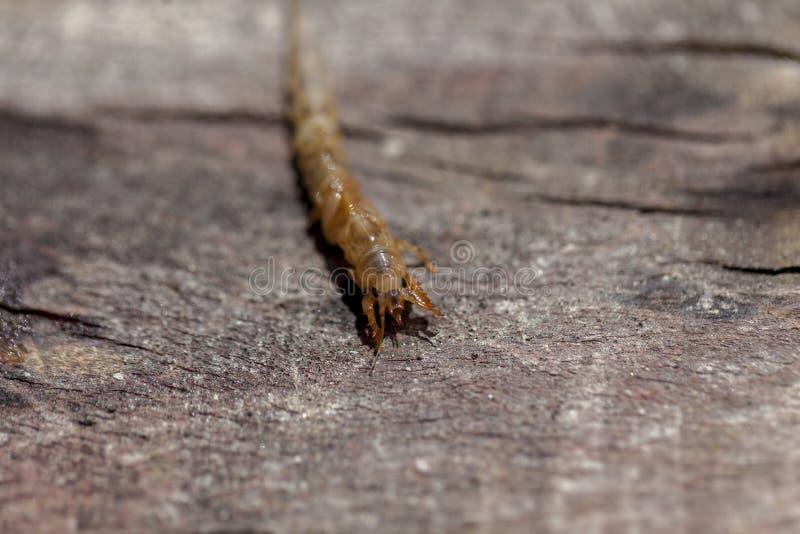 Larvas del danica de las Ephemeras fotografía de archivo