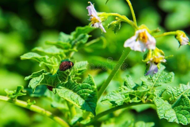 Larvas del escarabajo de patata de Colorado en el primer de las hojas de la patata Parásitos de plantas agrícolas imagen de archivo