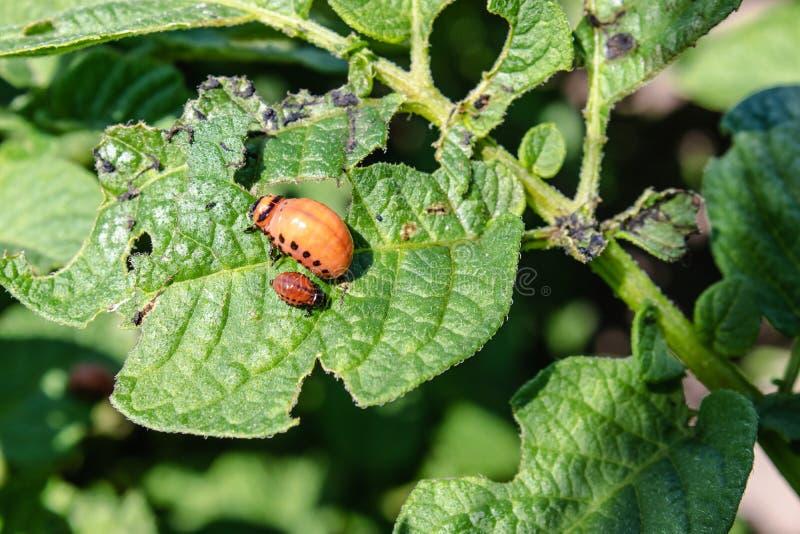 Larvas del escarabajo de patata de Colorado en las hojas de la patata Parásitos de plantas agrícolas El escarabajo de patata de C foto de archivo libre de regalías