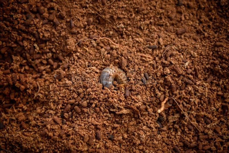 Larvas del escarabajo en el suelo imagen de archivo