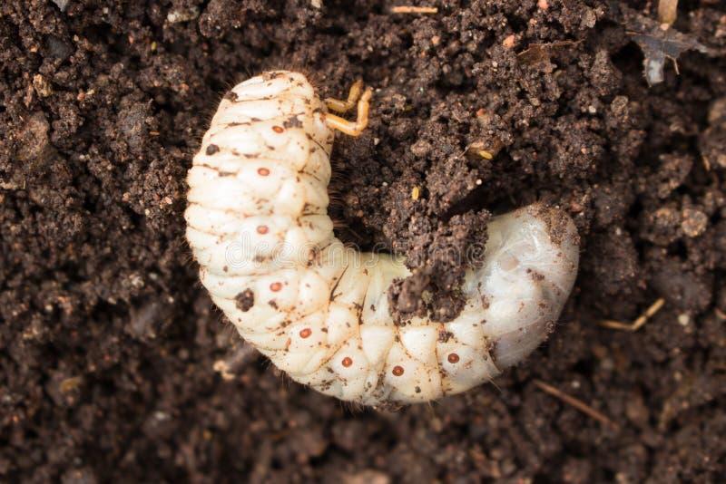 Larvas do besouro fotos de stock