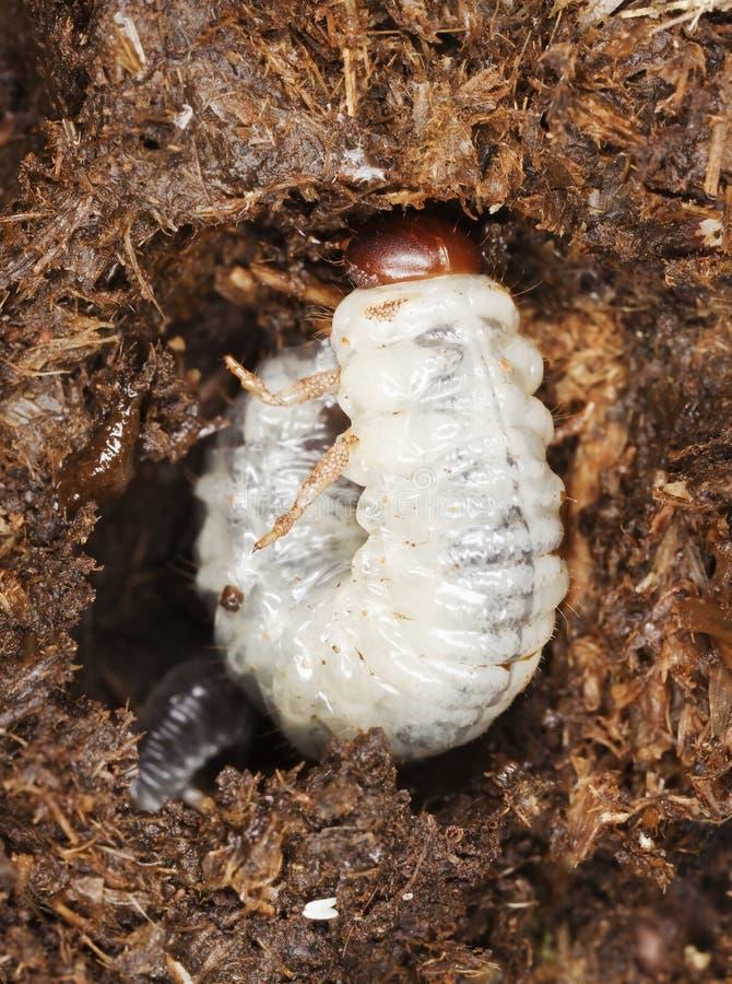 Larvas do besouro de estrume com parasita. fotografia de stock