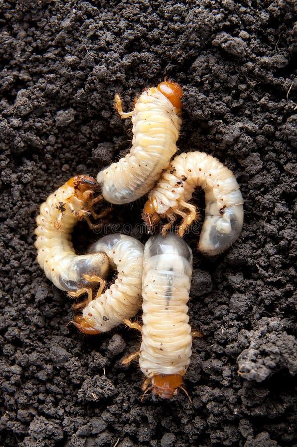 Larvas do besouro no fundo do solo imagem de stock