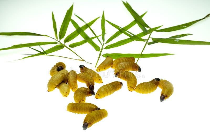 Larvas vermelhas da broca da palma imagem de stock