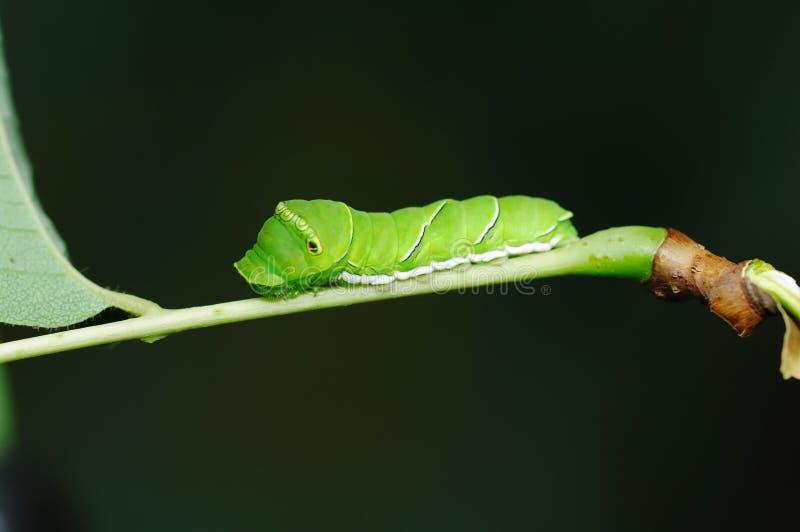 larvaswallowtail royaltyfria bilder