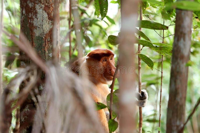 Larvatus do Nasalis do macaco de probóscide - Bornéu Malásia Ásia imagens de stock royalty free