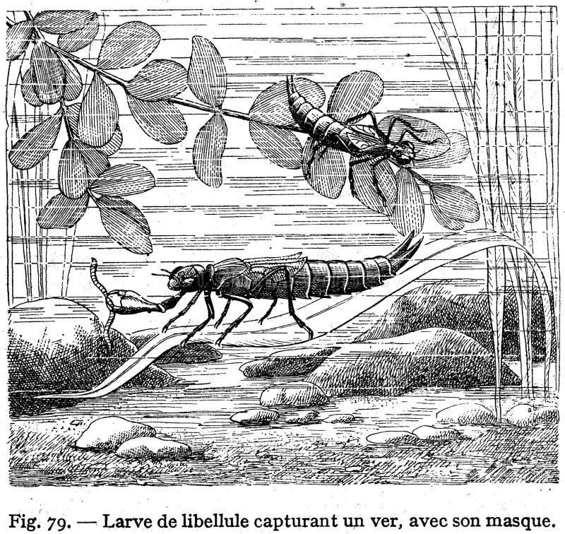 larve -2 del libellule imagenes de archivo
