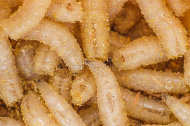 Larve d'une mouche à viande en sciure, plan rapproché images libres de droits