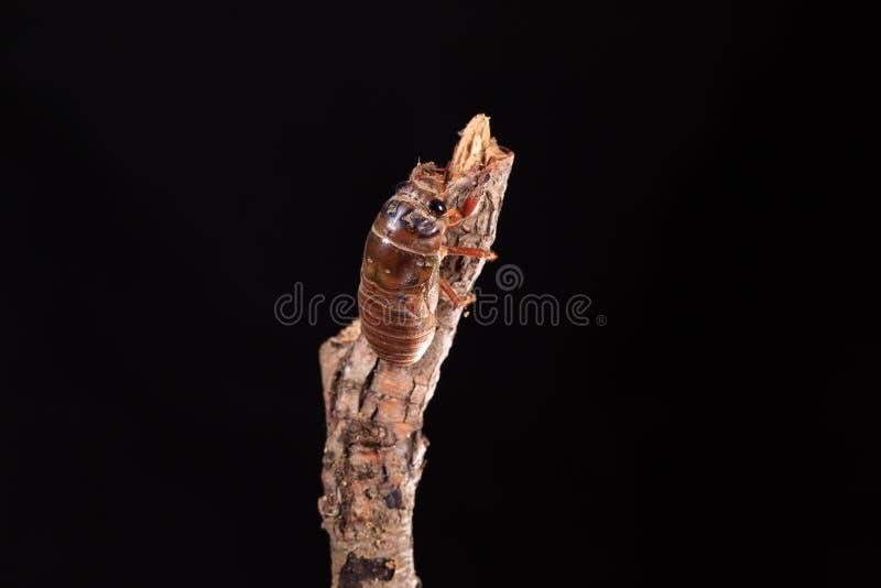 Larve de cigale photo libre de droits