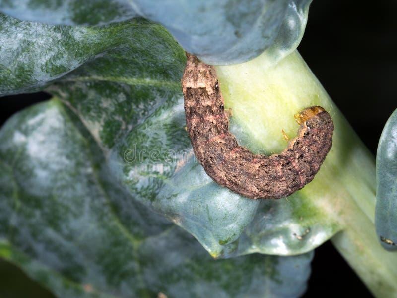 Larve de mite de chou, chenille, parasite de jardin photos libres de droits