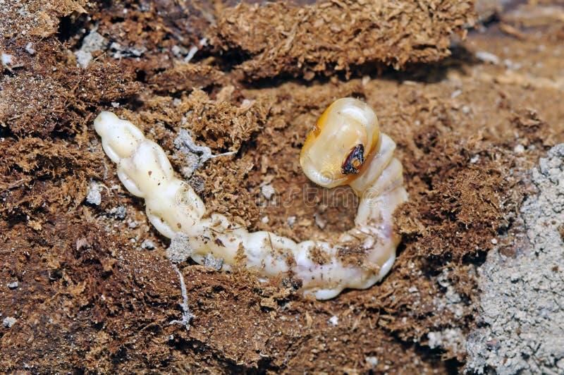 Larve de woodborer à tête plate (tenebrionis de Capnodis) photo stock