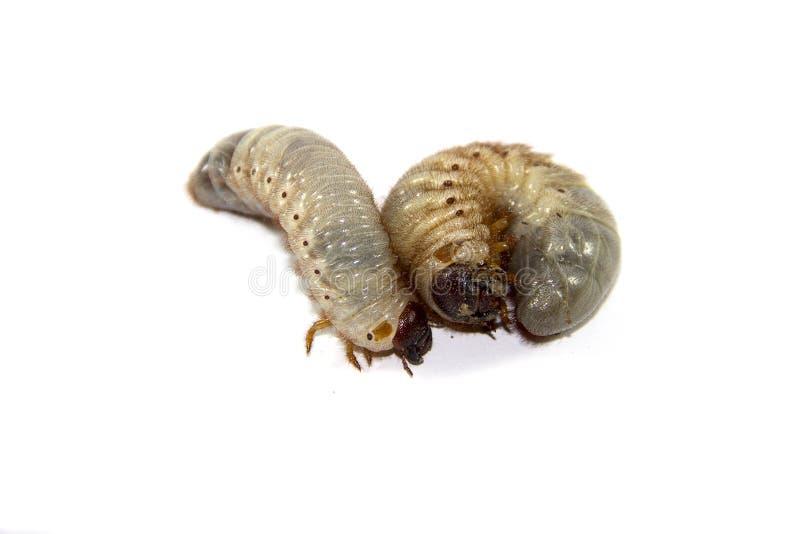 Larve dello scarabeo fotografia stock