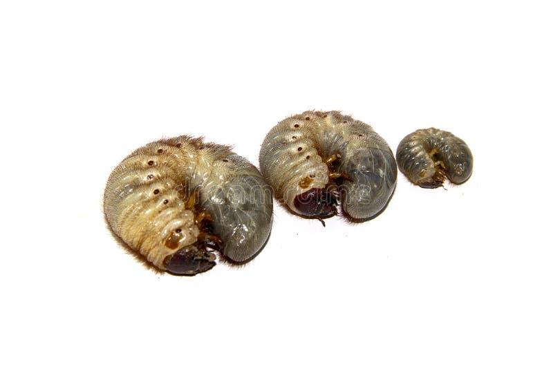 Larve dello scarabeo immagini stock