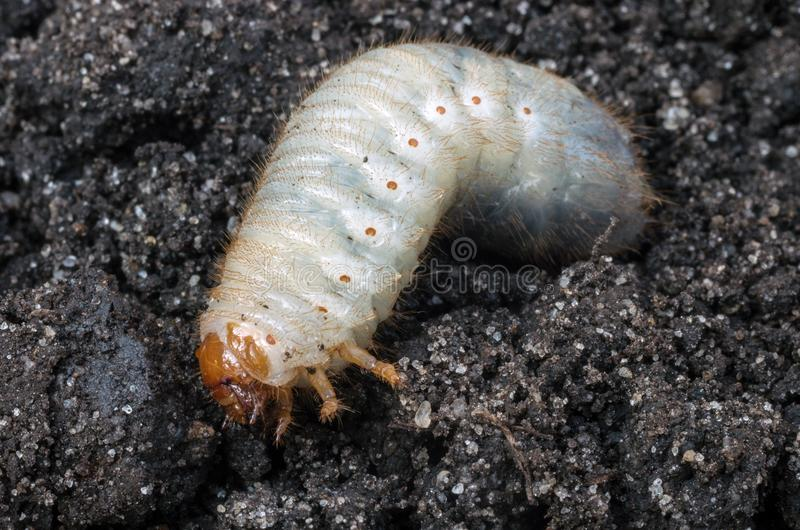 Larve du scarabée de mai images libres de droits