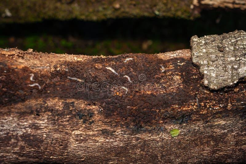 Larve sull'albero immagine stock libera da diritti