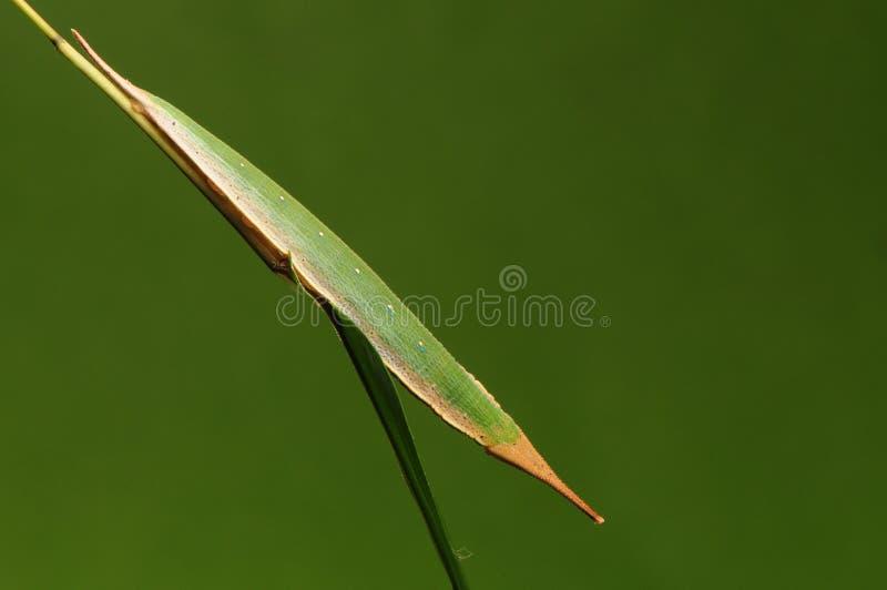 Larve van vlinder op takjehandeling zoals een adelma van bladPenthema stock fotografie