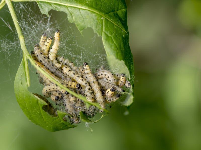 Larver av den simhudsförsedda malen i deras spindelnät arkivfoton