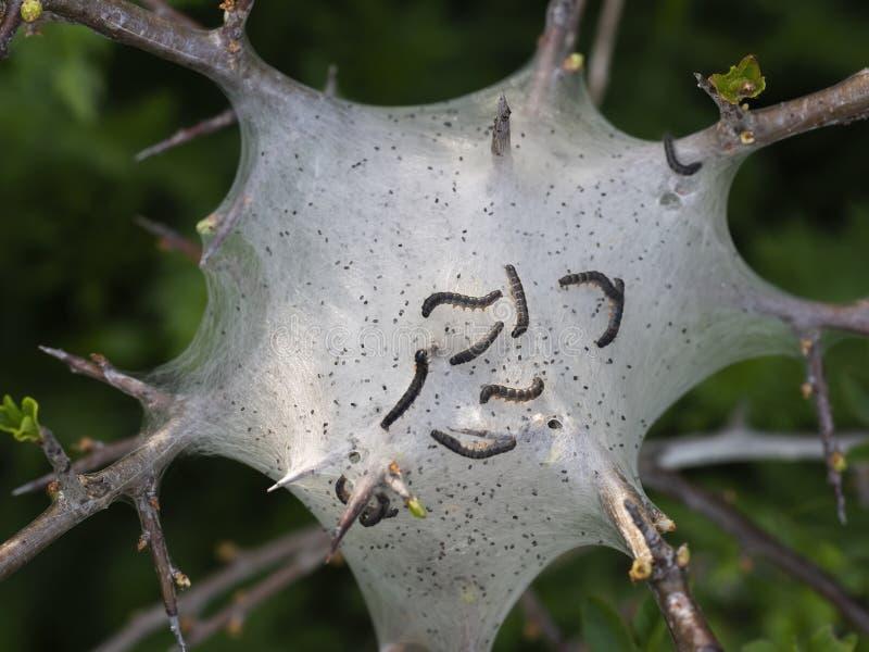 Larver för mal för lakej för rede för tältlarv aka Malacosomaneustria På Prunusspinosa fatta arkivbilder