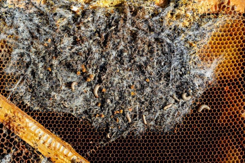 Larver för vaxmal på ett infekterat birede familjen av bin är sjuka med en vaxmal Ruskig vaxbiram som förbi ätas royaltyfri fotografi