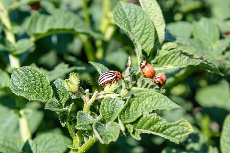 Larves de scarabée de pomme de terre du Colorado sur des feuilles de pomme de terre Parasites des plantes agricoles Le scarab?e d images libres de droits