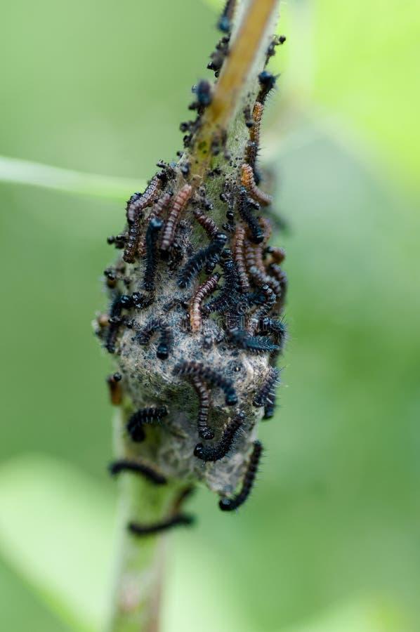 Larves de tenthrède de portrait d'insecte photographie stock libre de droits