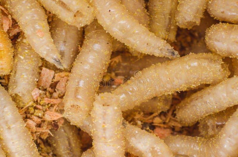 Larwa mięsna komarnica w trociny, zakończenie obrazy stock