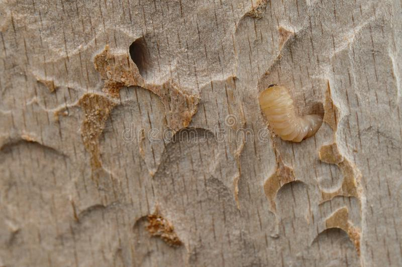 Larwa w drzewnym drewnie zdjęcia stock