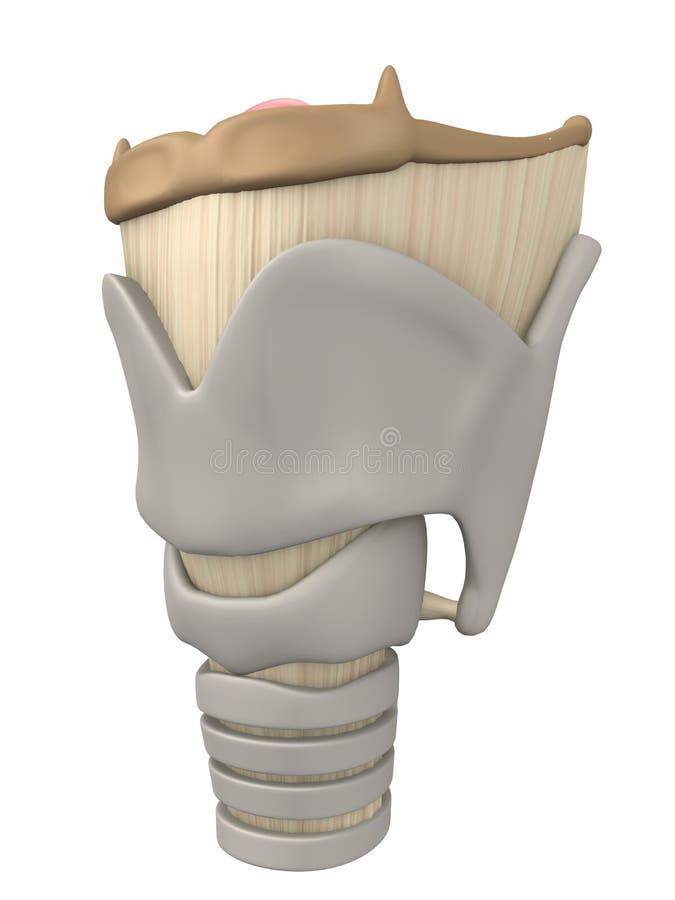 Larynx anatomy vector illustration