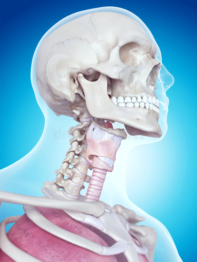 The larynx anatomy. Medically accurate illustration of the larynx anatomy vector illustration