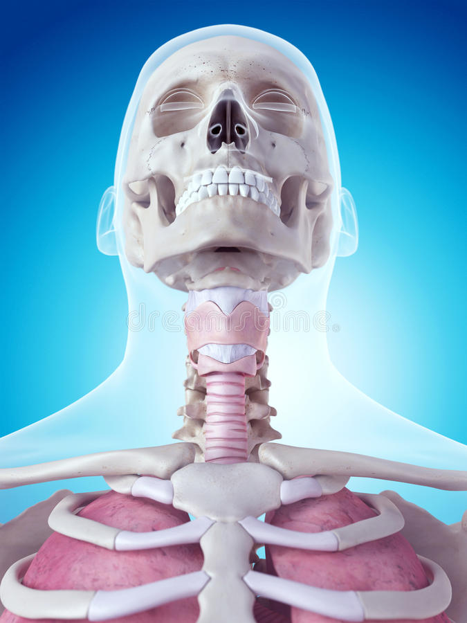 The larynx anatomy. Medically accurate illustration of the larynx anatomy stock illustration