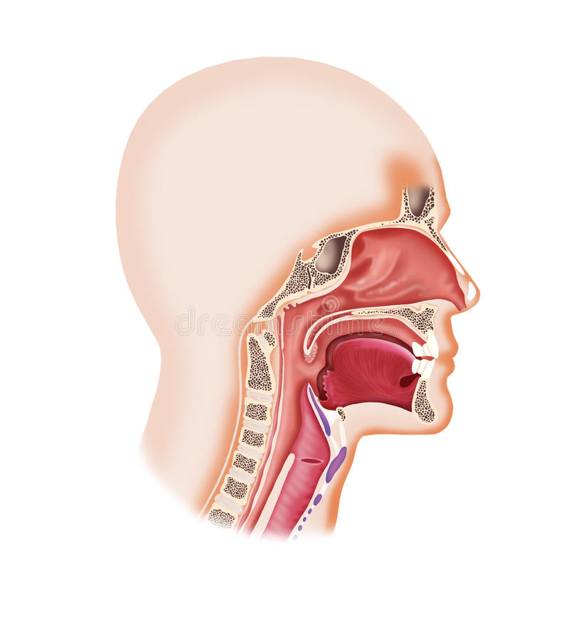 Larynx system. Digital illustration of a human face cavity with larynx, nose, mouth,tongue vector illustration