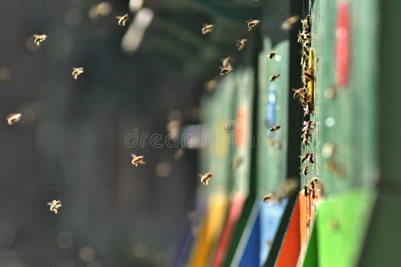 Las abejas de la colmena y del vuelo en una primavera fresca se encienden imágenes de archivo libres de regalías