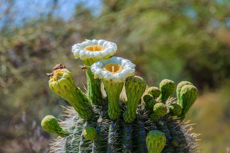 Las abejas en vuelo, en el camino al cactus del Saguaro florecen foto de archivo