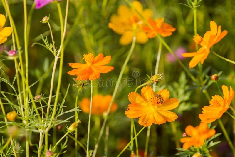 Las abejas encuentran el néctar del bipinnatus y del jardín del cosmos de las flores como el fondo imágenes de archivo libres de regalías