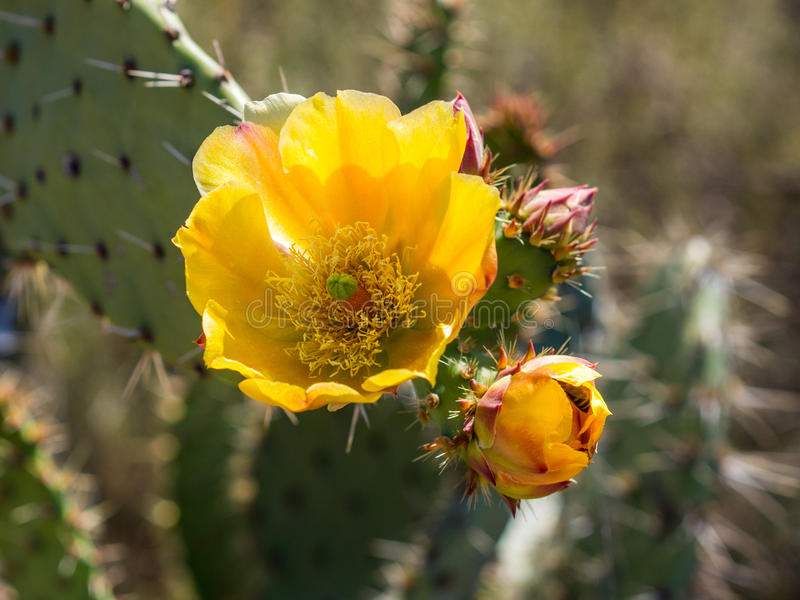 Las abejas están recogiendo el polen en el cactus floreciente de la pera de Pricky Parque del desierto de la costa de Laguna foto de archivo libre de regalías