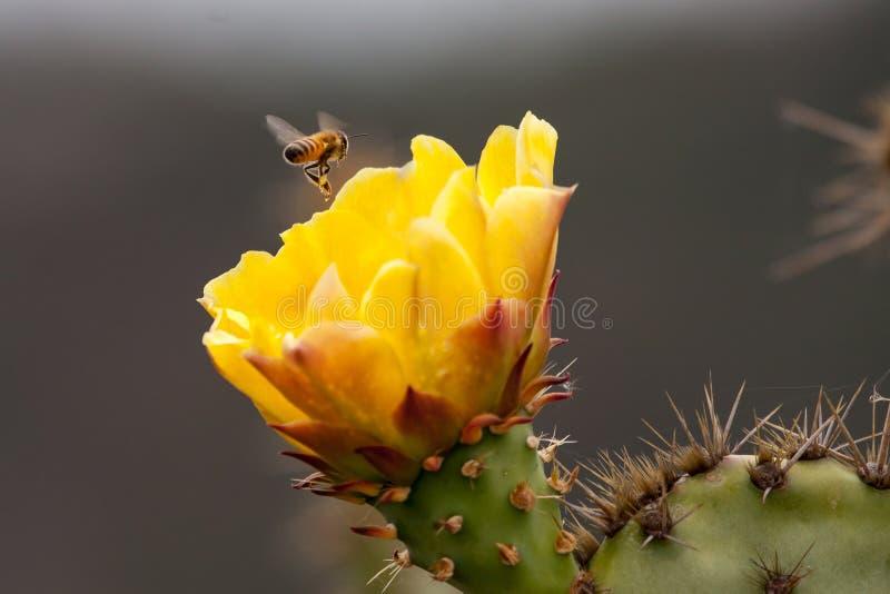 Las abejas están recogiendo el polen en el cactus floreciente de la pera de Pricky Parque del desierto de la costa de Laguna fotos de archivo
