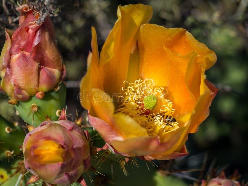 Las abejas están recogiendo el polen en el cactus floreciente de la pera de Pricky Parque del desierto de la costa de Laguna fotos de archivo libres de regalías