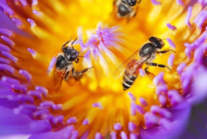 Las abejas que trabajan dentro del loto púrpura fotos de archivo libres de regalías