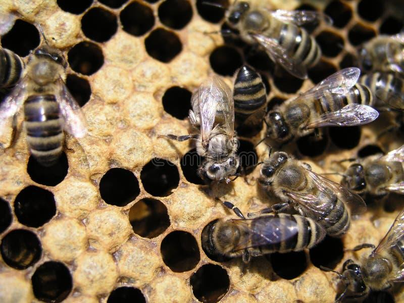 Las abejas se arrastran alrededor de la cría que capsula en cámara de la cría recién nacido en abeja fotos de archivo libres de regalías