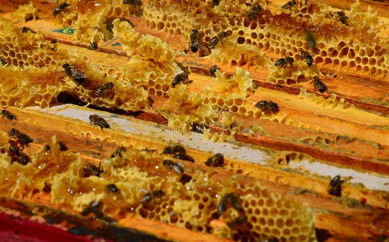 Las abejas se están sentando en el peine en la colmena imágenes de archivo libres de regalías