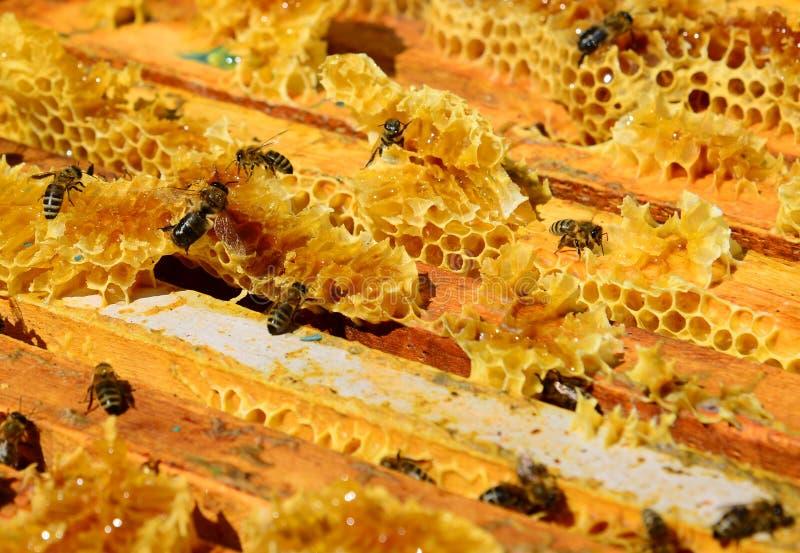 Las abejas se están sentando en el peine en la colmena fotografía de archivo libre de regalías
